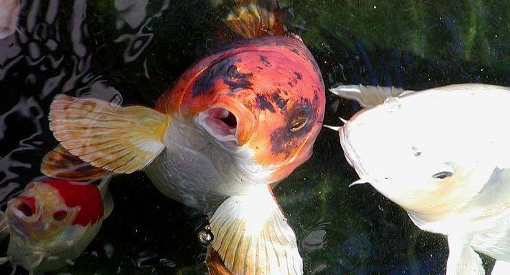 Matsuba 17 images frompo for Teichfische arten