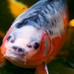 Koi Shusui mit Goldfischen