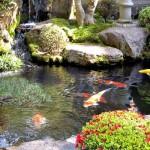 Koi Karpfen im Teich